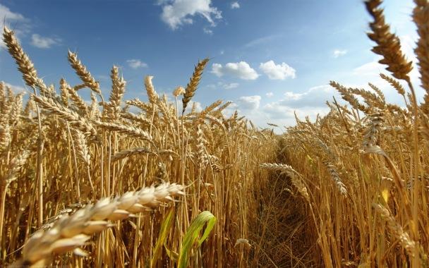 Dry Golden Wheat Field.